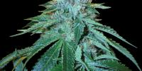 Reserva Privada - The OG 18 cannabis seeds