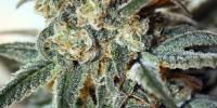 Ripper Seeds - Zombie Kush cannabis seeds