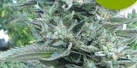 Roor Seeds - i2 - Bubba OG cannabis seeds