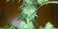 Royal Queen Seeds - Bubblegum XL cannabis seeds