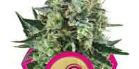 Royal Queen Seeds - Bubble Kush cannabis seeds