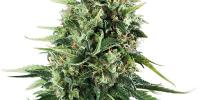 Royal Queen Seeds - Chocolate Haze cannabis seeds