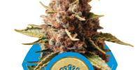 Royal Queen Seeds - Euphoria cannabis seeds
