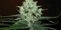 Royal Queen Seeds - Lemon Shining Silver Haze cannabis seeds