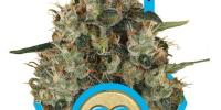 Royal Queen Seeds - Medical Mass cannabis seeds