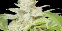 Royal Queen Seeds - Royal AK Automatic cannabis seeds