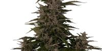 Royal Queen Seeds - Royal Critical Automatic cannabis seeds