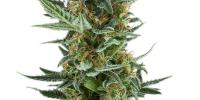 Royal Queen Seeds - Royal Dwarf cannabis seeds