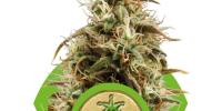 Royal Queen Seeds - Royal Jack Automatic cannabis seeds