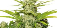 Royal Queen Seeds - Skunk XL cannabis seeds