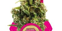 Royal Queen Seeds - Sour Diesel cannabis seeds