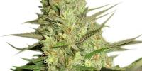 Royal Queen Seeds - Special Queen #1 cannabis seeds
