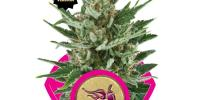Royal Queen Seeds - Speedy Chile FAST VERSION cannabis seeds