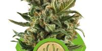 Royal Queen Seeds - White Widow Auto cannabis seeds