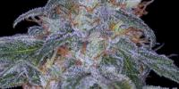 Sagarmatha Seeds - Black Domina Automatic cannabis seeds