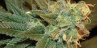 Sagarmatha Seeds - Bubbleberry cannabis seeds