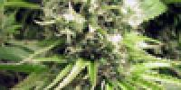 Sagarmatha Seeds - Skunk Wreck cannabis seeds