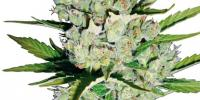 Sagarmatha Seeds - Super Skunk Automatic cannabis seeds