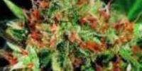 Sagarmatha Seeds - Thunderbolt cannabis seeds