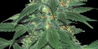 Samsara Seeds - Punky Lion cannabis seeds