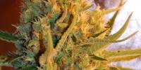 Samsara Seeds - Shot Adrenaline Auto cannabis seeds