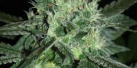 Samsara Seeds - Spicy White Devil cannabis seeds