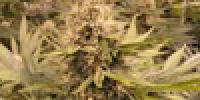 The Sativa Seedbank - Raspberry Cough cannabis seeds