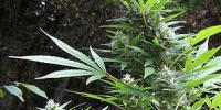 Seeds of Africa - Durban Magic cannabis seeds