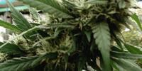 Seeds of Africa - Malawi Gold cannabis seeds