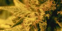 Seeds of Africa - Swazi Gold cannabis seeds