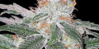 Seedsman - White Widow cannabis seeds