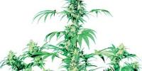 Sensi Seeds - Early Girl cannabis seeds