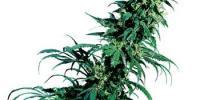 Sensi Seeds - Early Pearl cannabis seeds