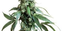 Sensi Seeds - Jack Flash cannabis seeds