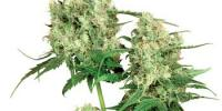 Sensi Seeds - Maple Leaf Indica cannabis seeds