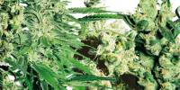 Sensi Seeds - Sensi Feminized Mix cannabis seeds