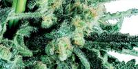 Sensi Seeds - Sensi Skunk cannabis seeds