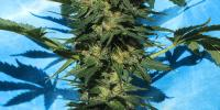 Serious Seeds - Auto White Russian cannabis seeds