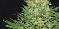 Serious Seeds - Double Dutch cannabis seeds