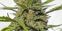 Serious Seeds - Happiness cannabis seeds