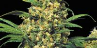 Serious Seeds - Warlock cannabis seeds