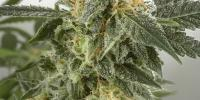Short Stuff Seeds - Russian Rocket Fuel Auto cannabis seeds