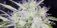 Short Stuff Seeds - Snowryder Auto cannabis seeds