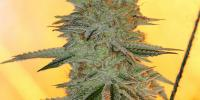 Sin City Seeds - PowerNap cannabis seeds