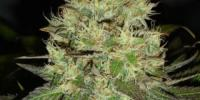 Soma Seeds - Citralah cannabis seeds