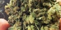 Soma Seeds - So G Kush cannabis seeds