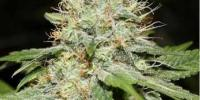 Spliff Seeds - Sweet n Sour cannabis seeds