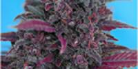 Sweet Seeds - Dark Devil Auto cannabis seeds