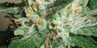 Taylor Genetics - Hazy Daze cannabis seeds