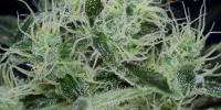 Subcool Seeds - Agent Orange cannabis seeds